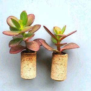 Magnetic Cork Succulent Planter